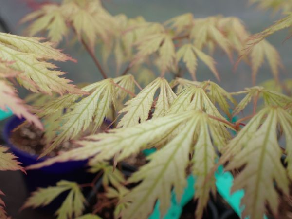 Acer palmatum 'Sister ghost